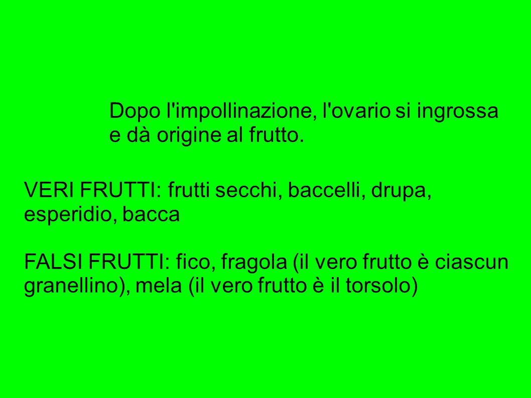 VERI FRUTTI: frutti secchi, baccelli, drupa, esperidio, bacca FALSI FRUTTI: fico, fragola (il vero frutto è ciascun granellino), mela (il vero frutto è il torsolo) Dopo l impollinazione, l ovario si ingrossa e dà origine al frutto.