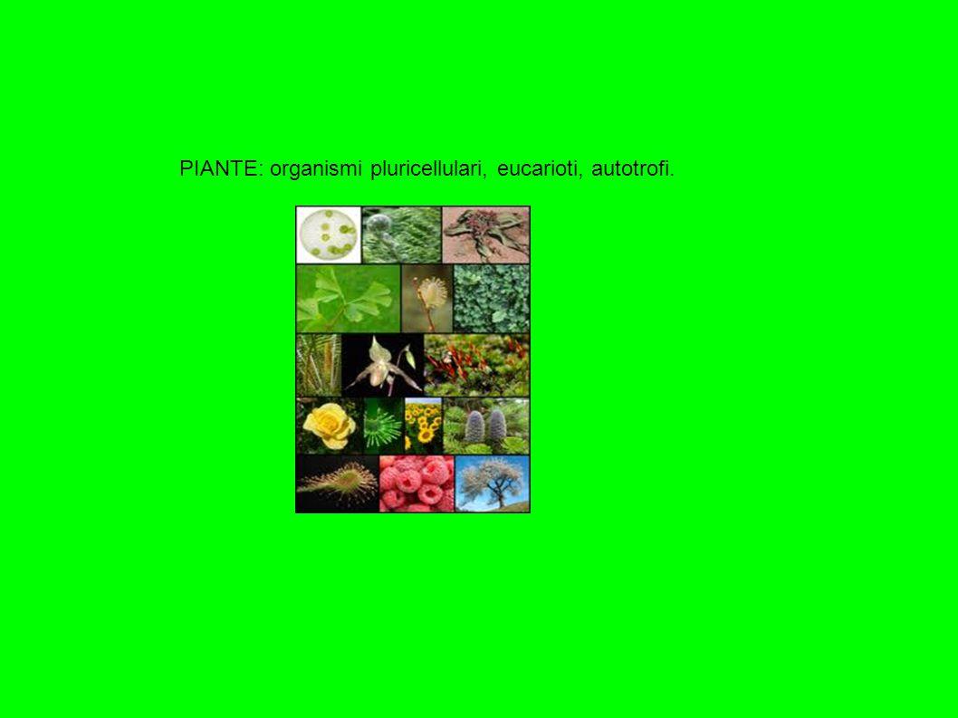 PIANTE: organismi pluricellulari, eucarioti, autotrofi.