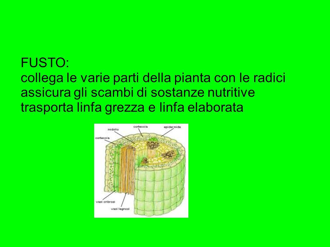 FUSTO: collega le varie parti della pianta con le radici assicura gli scambi di sostanze nutritive trasporta linfa grezza e linfa elaborata