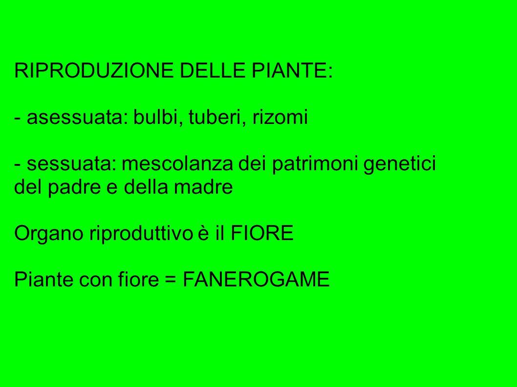 RIPRODUZIONE DELLE PIANTE: - asessuata: bulbi, tuberi, rizomi - sessuata: mescolanza dei patrimoni genetici del padre e della madre Organo riproduttivo è il FIORE Piante con fiore = FANEROGAME