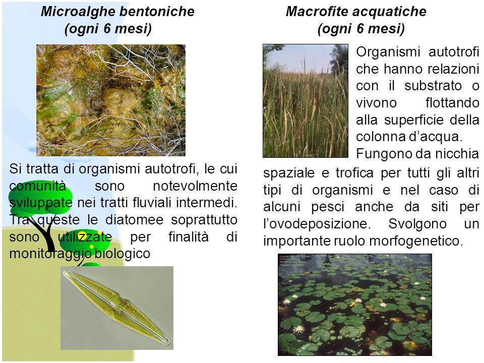 Microalghe bentoniche Macrofite acquatiche (ogni 6 mesi) (ogni 6 mesi) Si tratta di organismi autotrofi, le cui comunità sono notevolmente sviluppate nei tratti fluviali intermedi.
