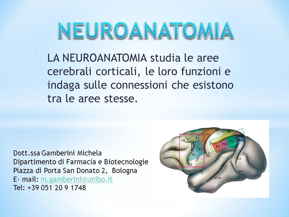 LA NEUROANATOMIA studia le aree cerebrali corticali, le loro funzioni e indaga sulle connessioni che esistono tra le aree stesse. Dott.ssa Gamberini M