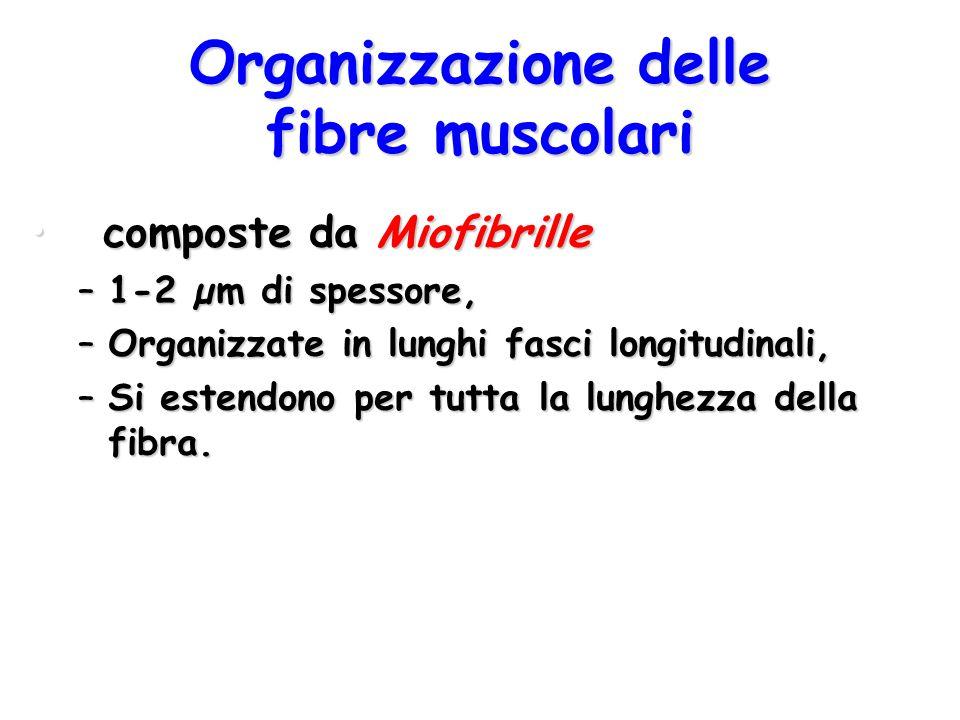 Organizzazione delle fibre muscolari composte da Miofibrille composte da Miofibrille –1-2 µm di spessore, –Organizzate in lunghi fasci longitudinali,