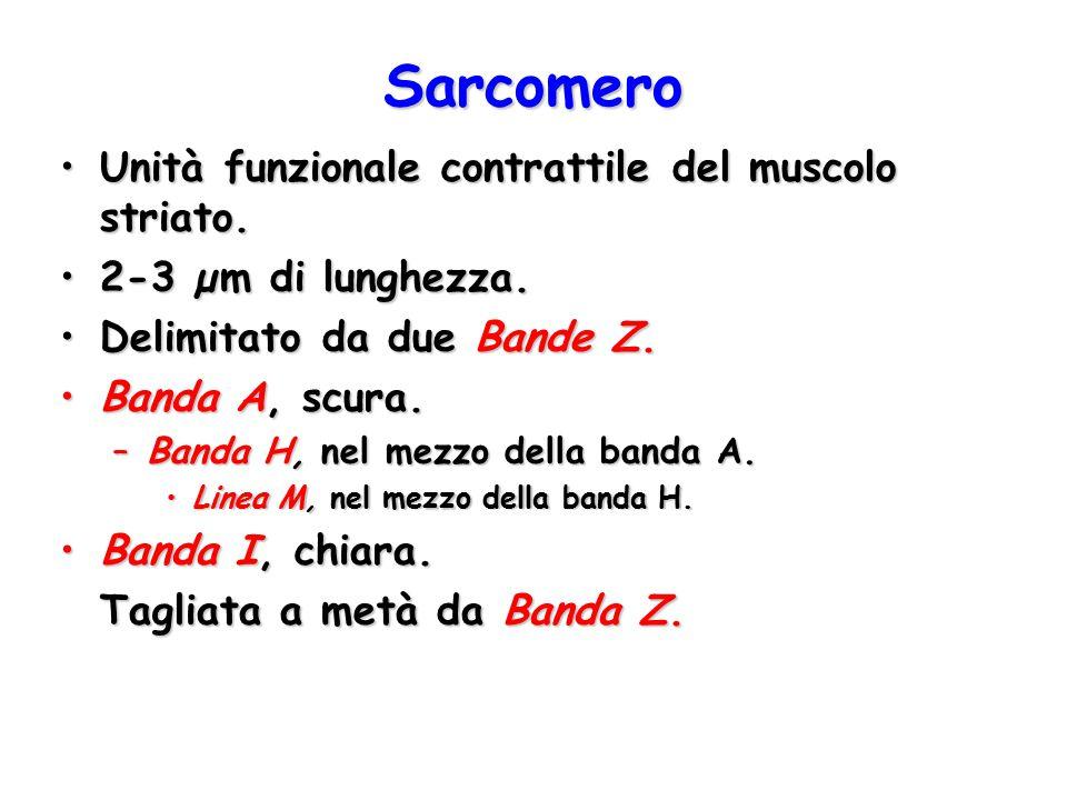 Sarcomero Unità funzionale contrattile del muscolo striato.Unità funzionale contrattile del muscolo striato. 2-3 µm di lunghezza.2-3 µm di lunghezza.