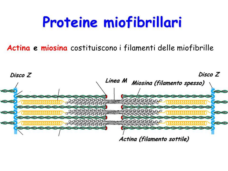Proteine miofibrillari Miosina (filamento spesso) Actina (filamento sottile) Disco Z Linea M Disco Z Actina e miosina costituiscono i filamenti delle