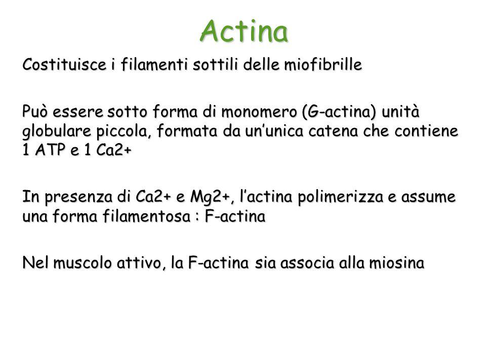 Actina Costituisce i filamenti sottili delle miofibrille Può essere sotto forma di monomero (G-actina) unità globulare piccola, formata da un'unica ca