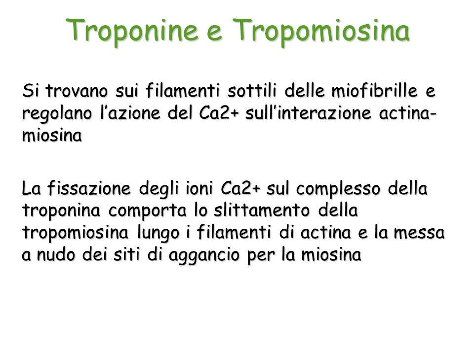 Troponine e Tropomiosina Si trovano sui filamenti sottili delle miofibrille e regolano l'azione del Ca2+ sull'interazione actina- miosina La fissazion