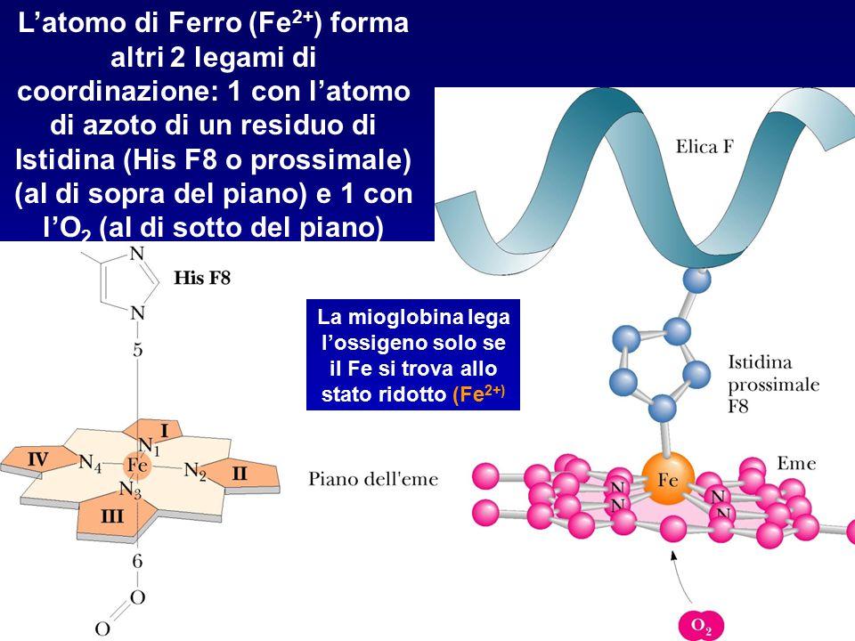 L'atomo di Ferro (Fe 2+ ) forma altri 2 legami di coordinazione: 1 con l'atomo di azoto di un residuo di Istidina (His F8 o prossimale) (al di sopra d