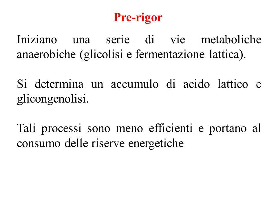 Iniziano una serie di vie metaboliche anaerobiche (glicolisi e fermentazione lattica). Si determina un accumulo di acido lattico e glicongenolisi. Tal