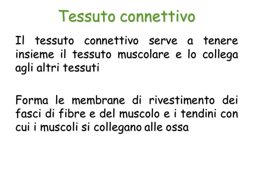 Tessuto connettivo Il tessuto connettivo serve a tenere insieme il tessuto muscolare e lo collega agli altri tessuti Forma le membrane di rivestimento