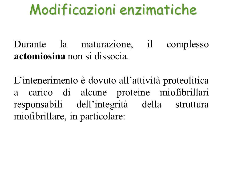 Durante la maturazione, il complesso actomiosina non si dissocia. L'intenerimento è dovuto all'attività proteolitica a carico di alcune proteine miofi