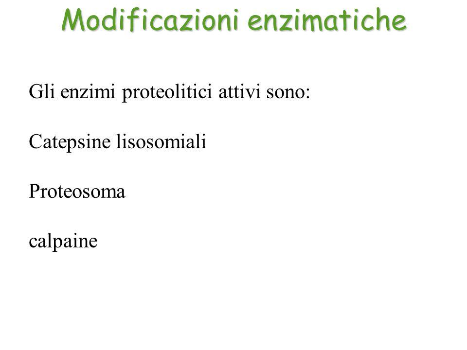 Gli enzimi proteolitici attivi sono: Catepsine lisosomiali Proteosoma calpaine Modificazioni enzimatiche