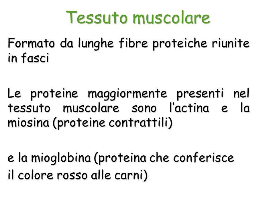 Tessuto muscolare Formato da lunghe fibre proteiche riunite in fasci Le proteine maggiormente presenti nel tessuto muscolare sono l'actina e la miosin