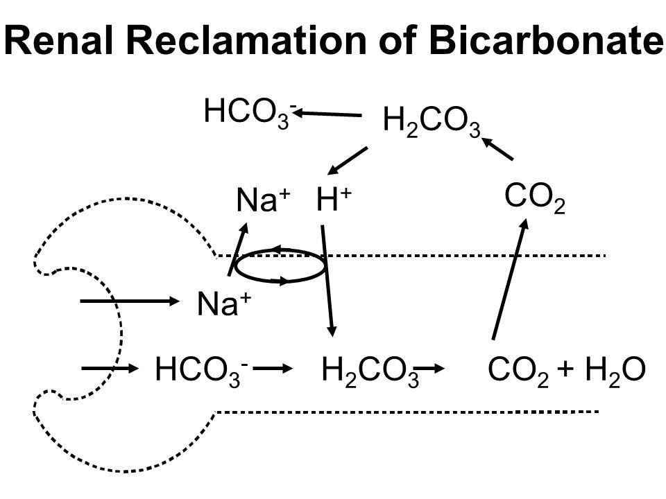 Renal Reclamation of Bicarbonate