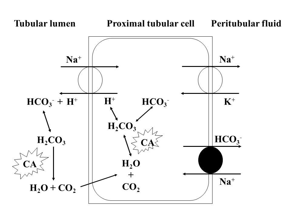 CA Na + HCO 3 - HCO 3 - +H+H+ H+H+ H 2 O + CO 2 HCO 3 - K+K+ H 2 CO 3 H 2 O + CO 2 H 2 CO 3 Tubular lumenProximal tubular cellPeritubular fluid
