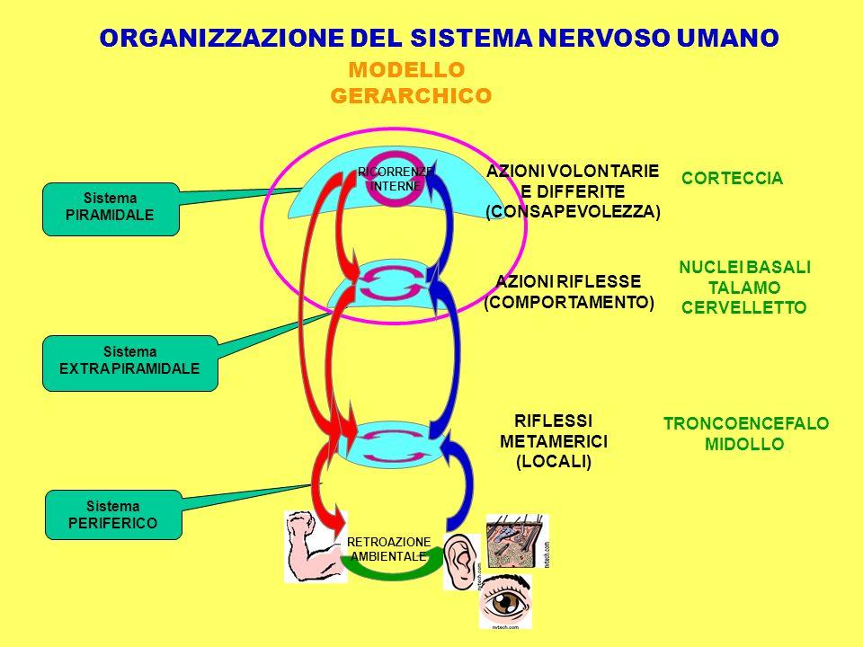 CORTECCIA NUCLEI BASALI TALAMO CERVELLETTO TRONCOENCEFALO MIDOLLO ORGANIZZAZIONE DEL SISTEMA NERVOSO UMANO Sistema PIRAMIDALE Sistema EXTRA PIRAMIDALE Sistema PERIFERICO AZIONI RIFLESSE (COMPORTAMENTO) MODELLO GERARCHICO RIFLESSI METAMERICI (LOCALI) RETROAZIONE AMBIENTALE RICORRENZE INTERNE AZIONI VOLONTARIE E DIFFERITE (CONSAPEVOLEZZA)