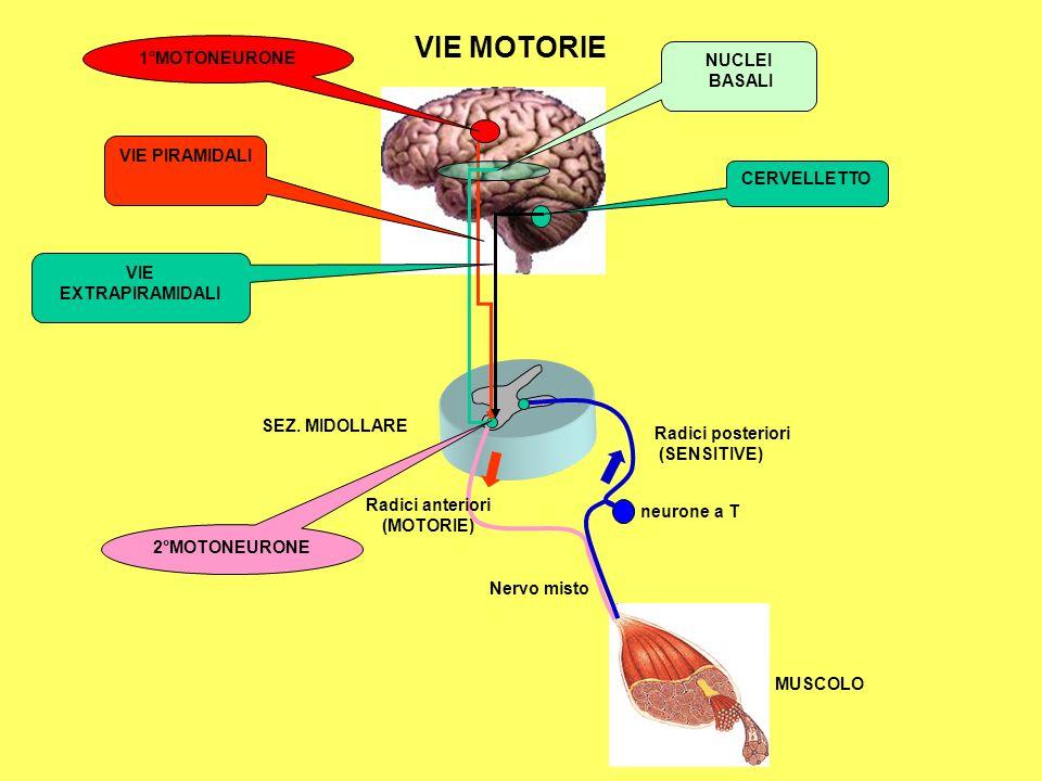 neurone a T Radici posteriori (SENSITIVE) Radici anteriori (MOTORIE) Nervo misto VIE MOTORIE VIE PIRAMIDALI VIE EXTRAPIRAMIDALI CERVELLETTO MUSCOLO SEZ.
