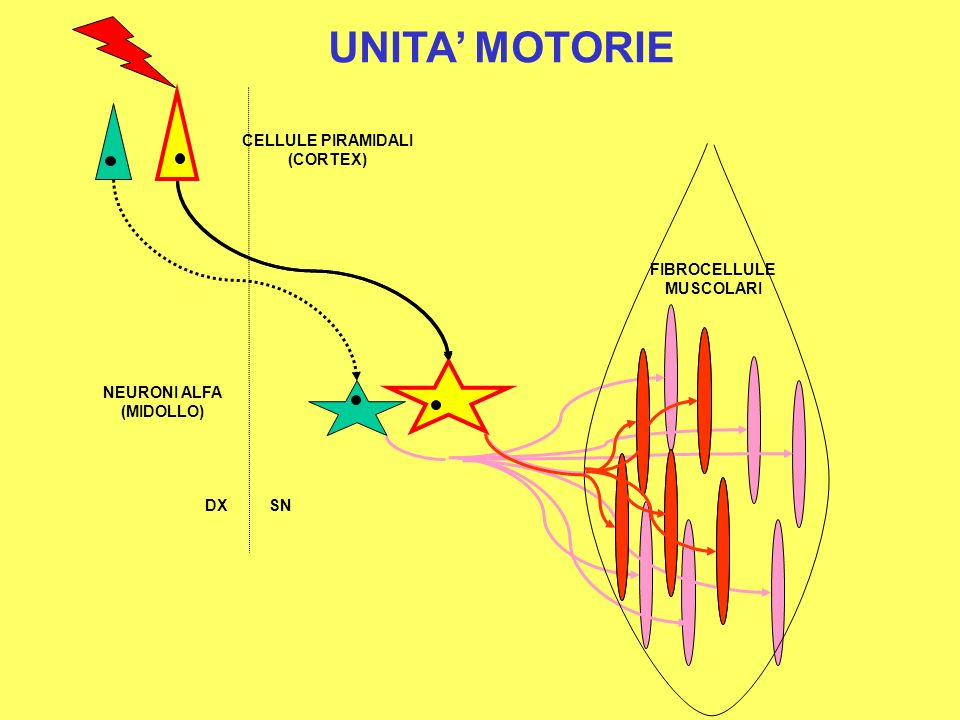 CELLULE PIRAMIDALI (CORTEX) NEURONI ALFA (MIDOLLO) FIBROCELLULE MUSCOLARI DXSN