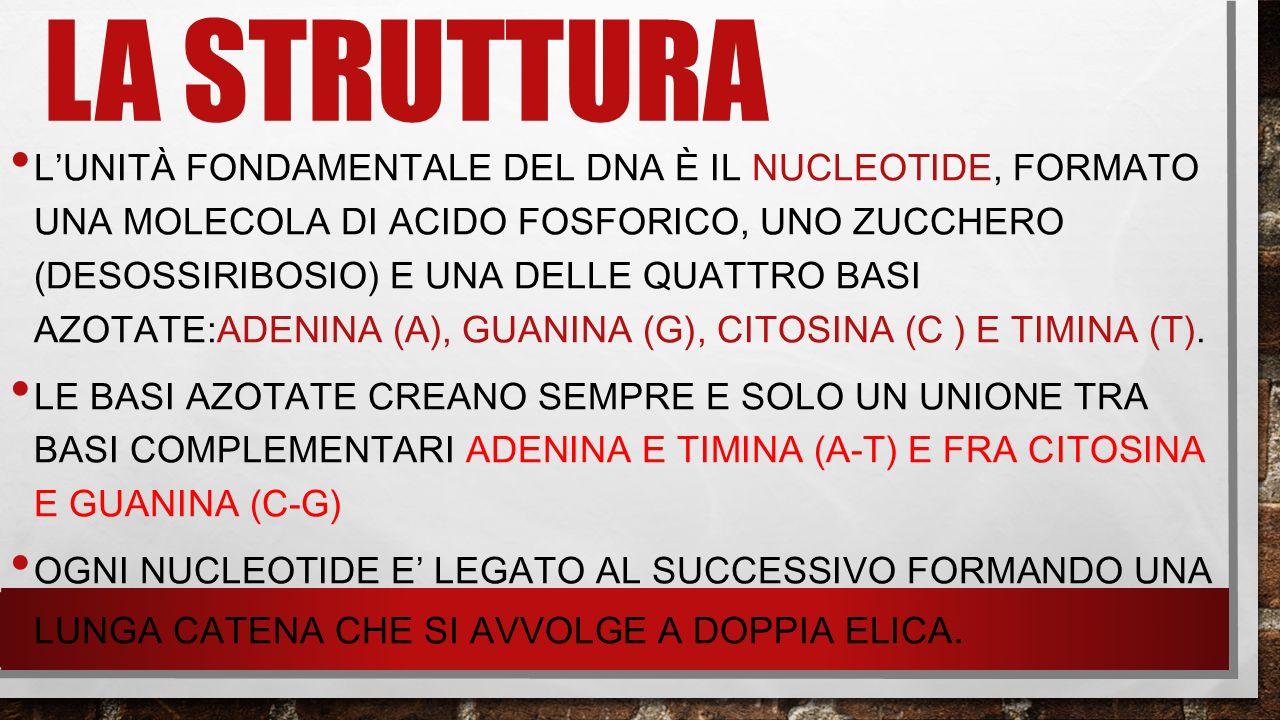 LA STRUTTURA L'UNITÀ FONDAMENTALE DEL DNA È IL NUCLEOTIDE, FORMATO UNA MOLECOLA DI ACIDO FOSFORICO, UNO ZUCCHERO (DESOSSIRIBOSIO) E UNA DELLE QUATTRO