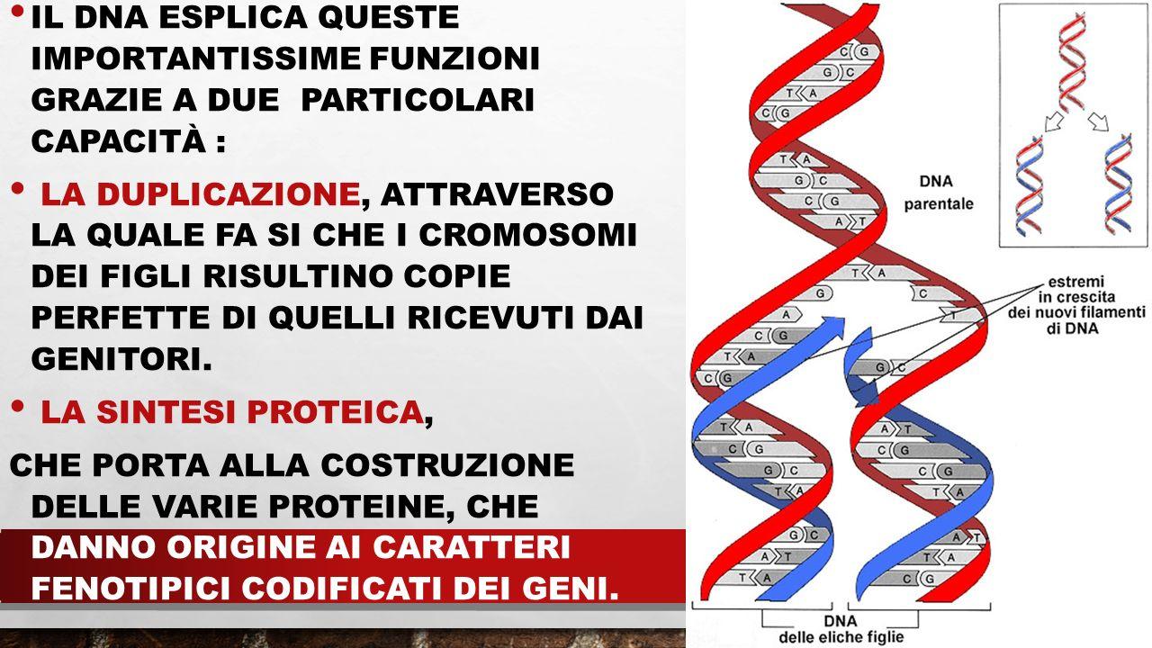IL DNA ESPLICA QUESTE IMPORTANTISSIME FUNZIONI GRAZIE A DUE PARTICOLARI CAPACITÀ : LA DUPLICAZIONE, ATTRAVERSO LA QUALE FA SI CHE I CROMOSOMI DEI FIGL