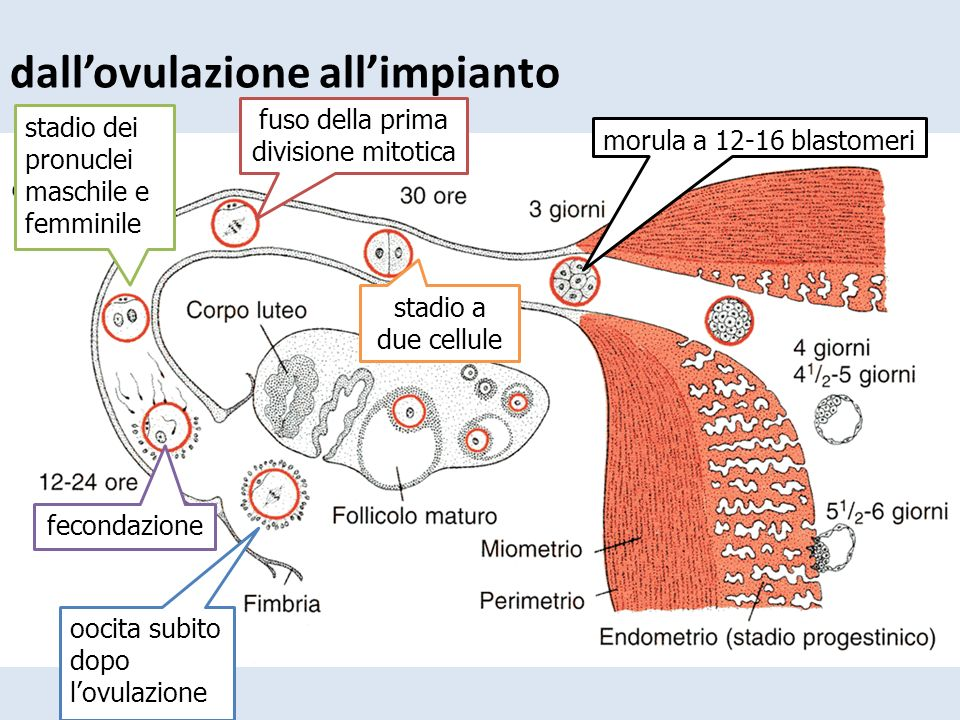 dall'ovulazione all'impianto oocita subito dopo l'ovulazione fecondazione stadio dei pronuclei maschile e femminile fuso della prima divisione mitotic