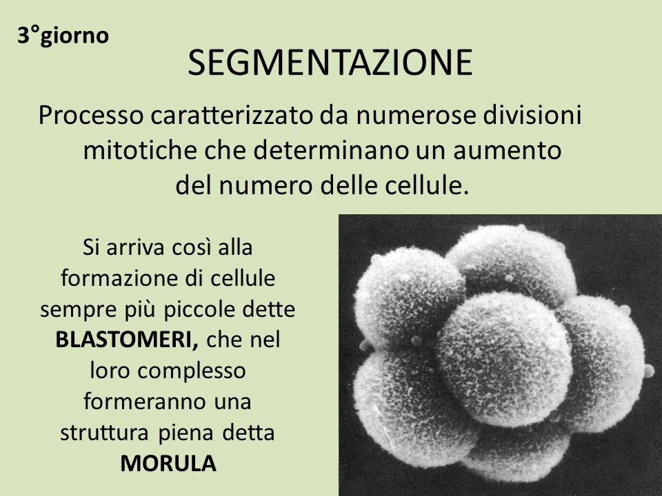 SEGMENTAZIONE Processo caratterizzato da numerose divisioni mitotiche che determinano un aumento del numero delle cellule. Si arriva così alla formazi