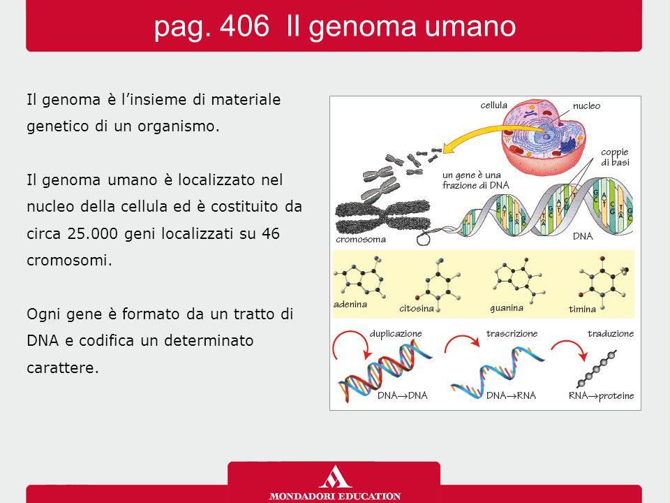 Il genoma è l'insieme di materiale genetico di un organismo. Il genoma umano è localizzato nel nucleo della cellula ed è costituito da circa 25.000 ge