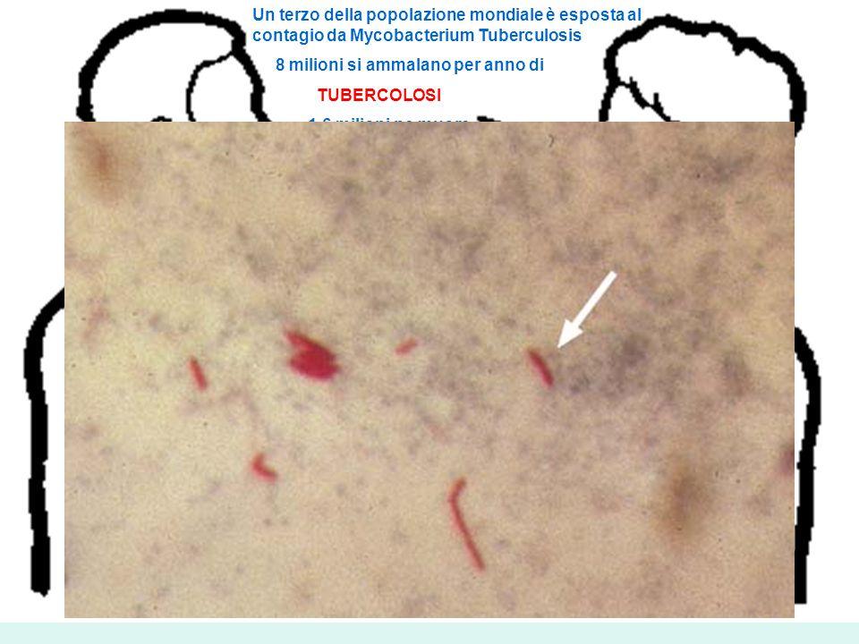 Un terzo della popolazione mondiale è esposta al contagio da Mycobacterium Tuberculosis 8 milioni si ammalano per anno di TUBERCOLOSI 1,6 milioni ne m