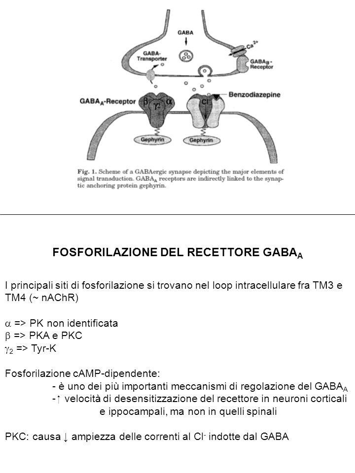 FOSFORILAZIONE DEL RECETTORE GABA A I principali siti di fosforilazione si trovano nel loop intracellulare fra TM3 e TM4 (~ nAChR)  => PK non identif