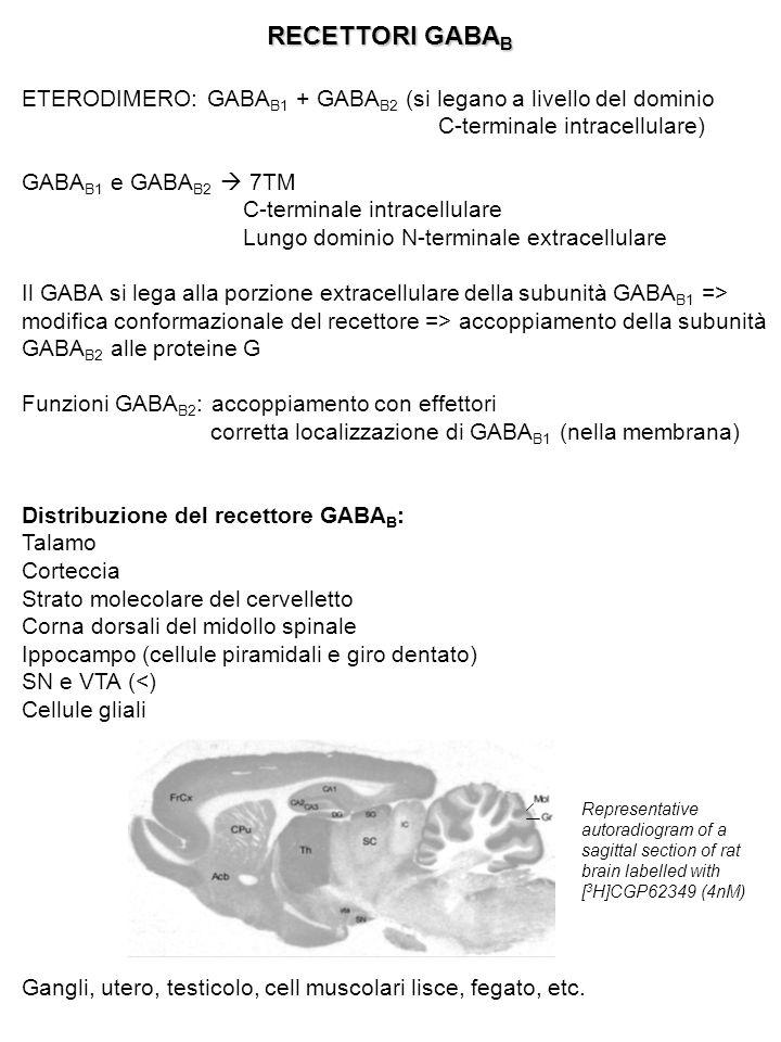 RECETTORI GABA B ETERODIMERO: GABA B1 + GABA B2 (si legano a livello del dominio C-terminale intracellulare) GABA B1 e GABA B2  7TM C-terminale intra