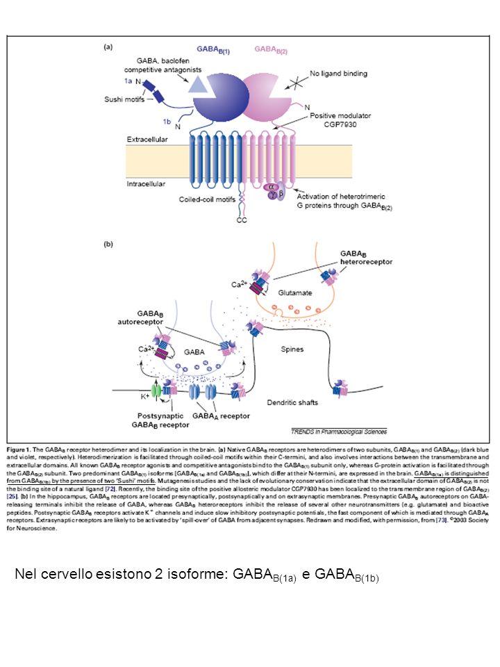 Nel cervello esistono 2 isoforme: GABA B(1a) e GABA B(1b)