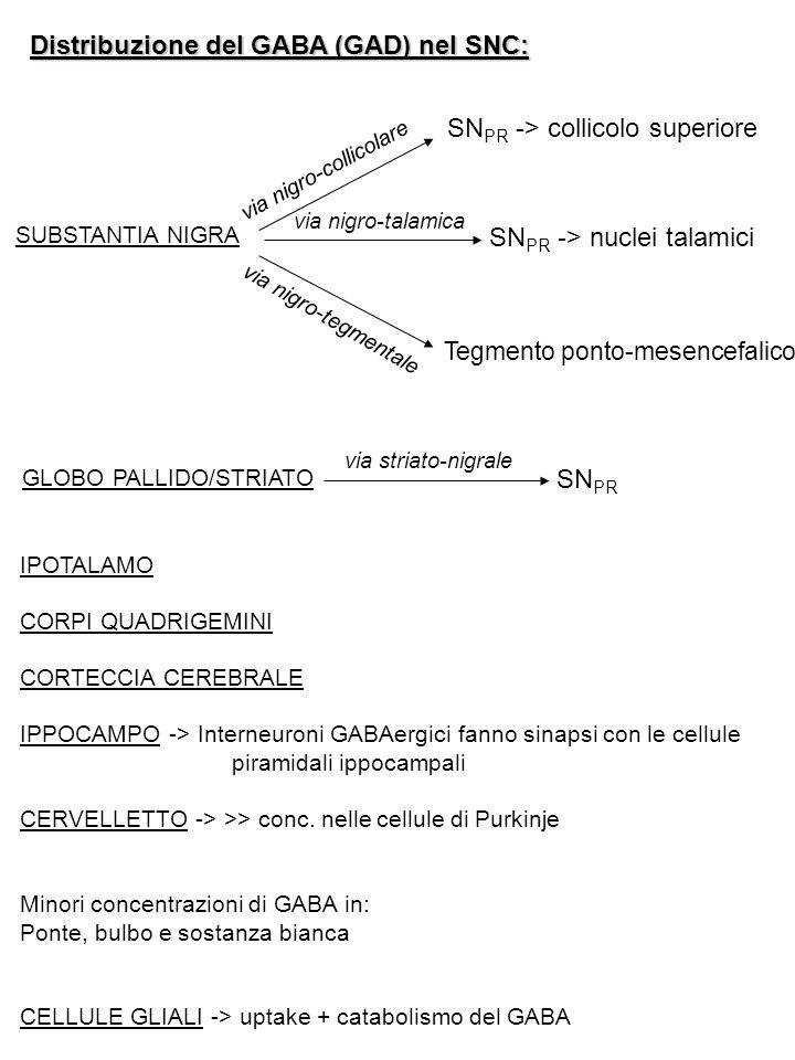 Distribuzione del GABA (GAD) nel SNC: SUBSTANTIA NIGRA via nigro-collicolare via nigro-talamica via nigro-tegmentale SN PR -> collicolo superiore SN P