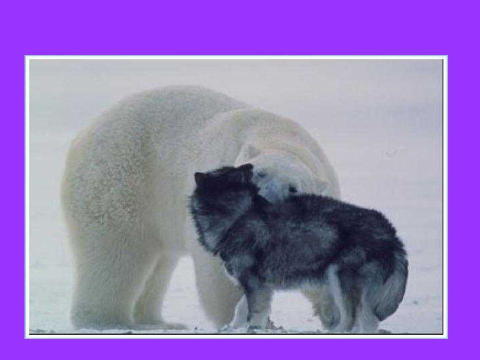 Cani incatenati nel Grande Nord, che facilmente potrebbero servire da pasto per…