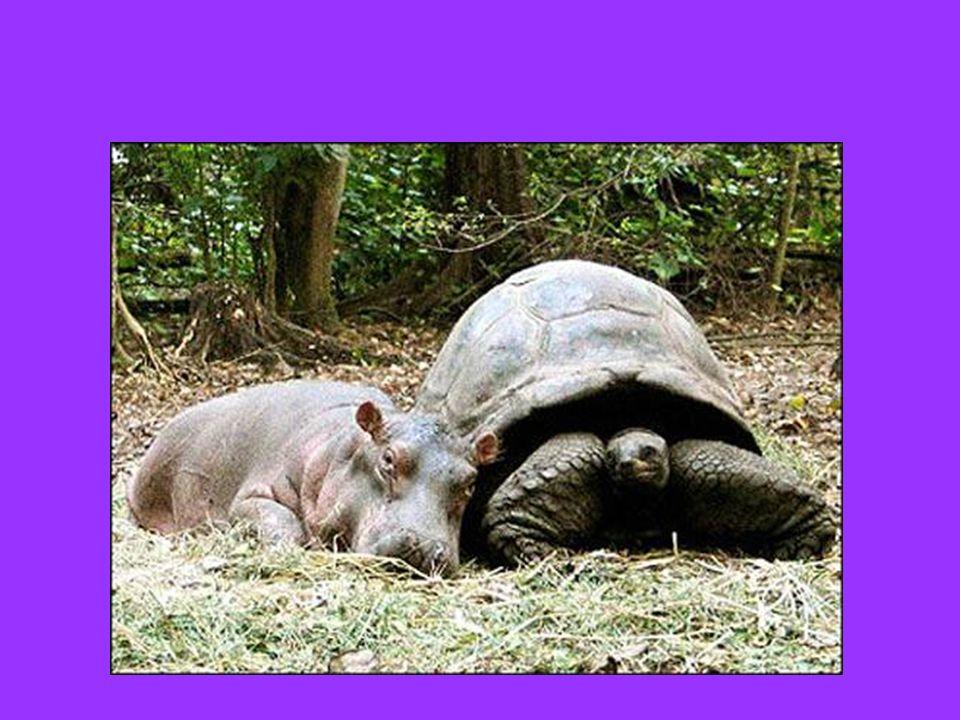 Un piccolo ippopotamo sopravvissuto ad uno tsunami in Kenia e che, solo al mondo, si è aggrappato ad una tartaruga di 100 anni scegliendola come sostituta della madre…