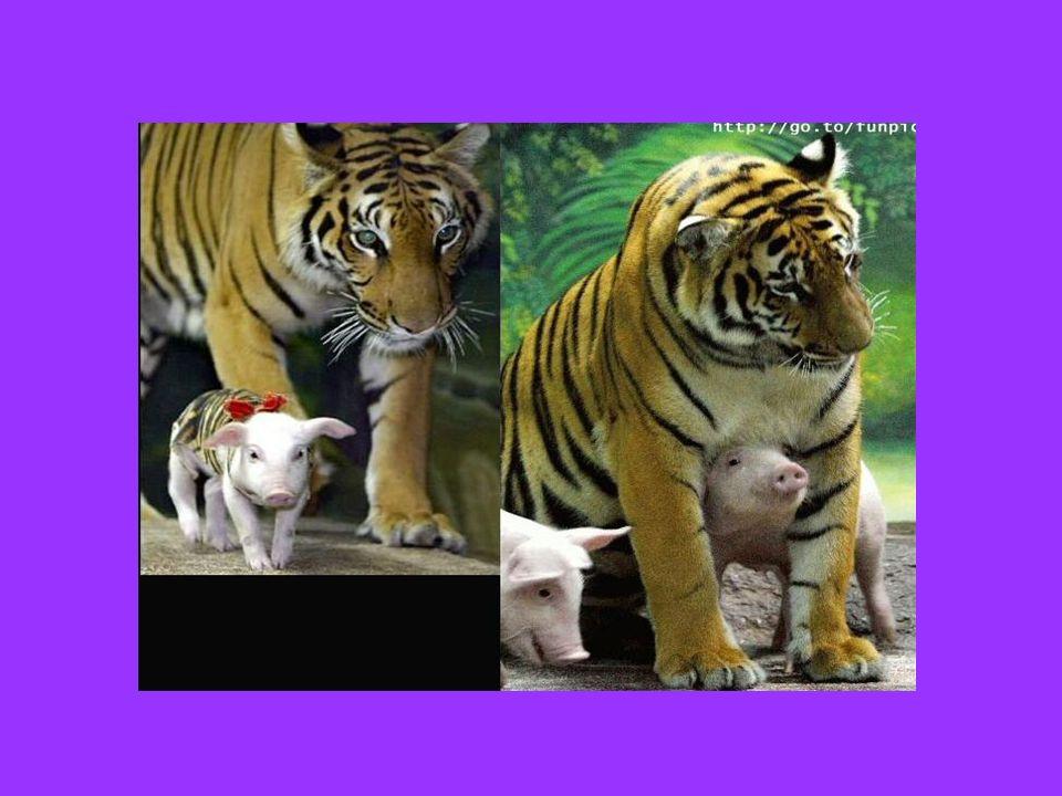 Questa mamma tigre, che ha perduto i suoi cuccioli, ha rivolto il suo affetto a questi maialini. …