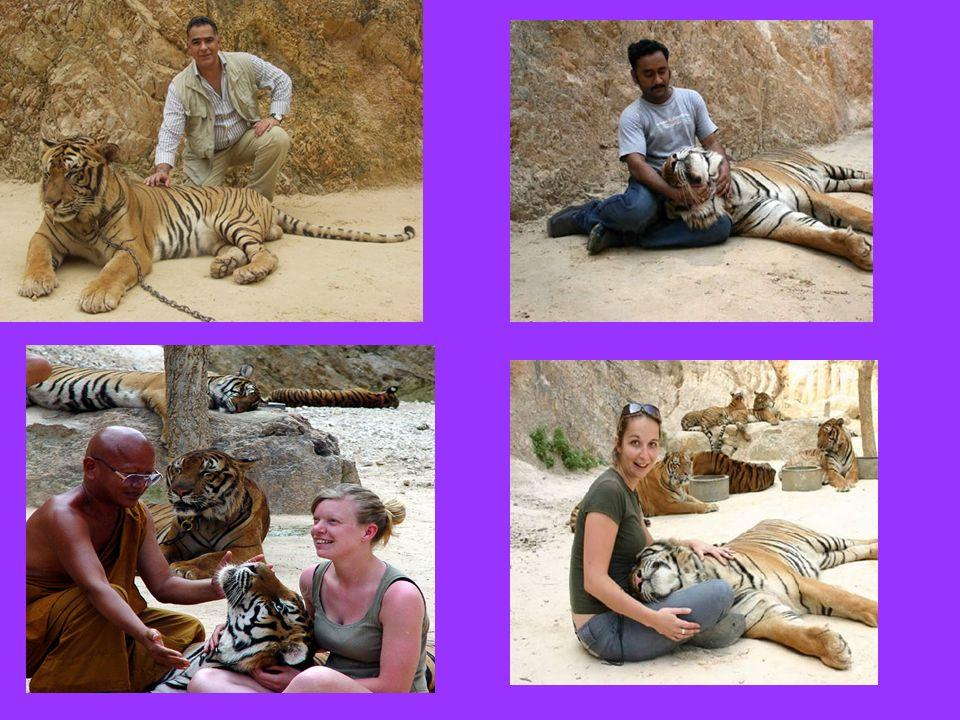 … come dai numerosi turisti che si presentano per integrarsi tra i felini in liberta.