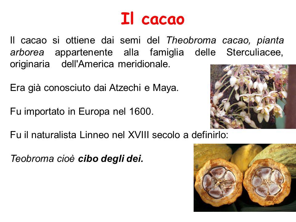 Il cacao Il cacao si ottiene dai semi del Theobroma cacao, pianta arborea appartenente alla famiglia delle Sterculiacee, originaria dell'America merid