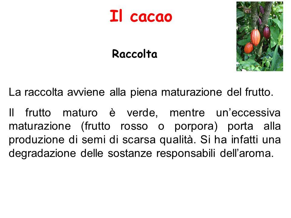 Il cacao Raccolta La raccolta avviene alla piena maturazione del frutto. Il frutto maturo è verde, mentre un'eccessiva maturazione (frutto rosso o por