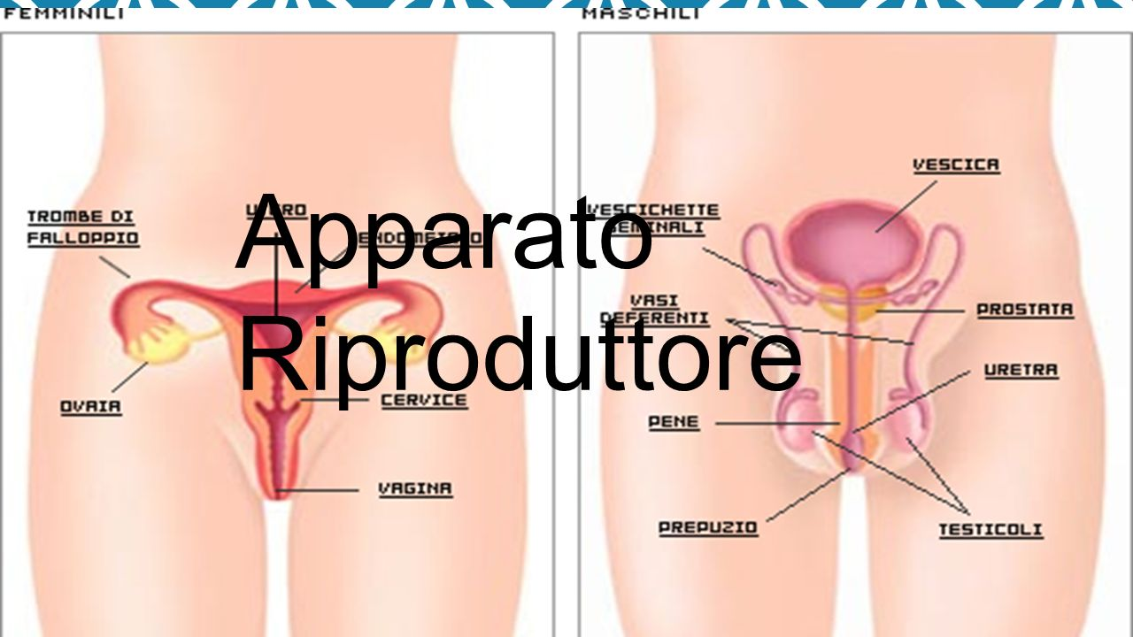 APPARATO RIPRODUTTORE MASCHILE L apparato genitale maschile è l insieme di organi e di strutture che permettono la riproduzione sessuale negli organismi animali di sesso maschile.