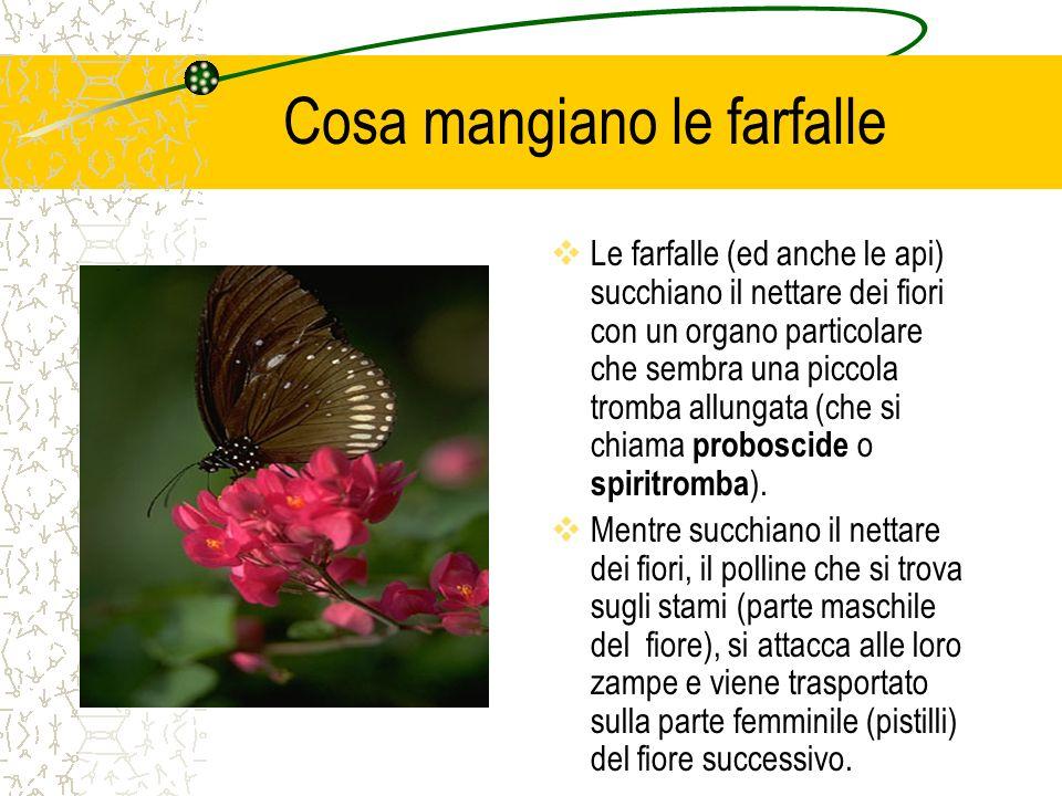 Cosa mangiano le farfalle  Le farfalle (ed anche le api) succhiano il nettare dei fiori con un organo particolare che sembra una piccola tromba allun