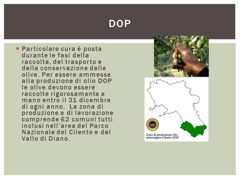  Particolare cura è posta durante le fasi della raccolta, del trasporto e della conservazione delle olive. Per essere ammesse alla produzione di olio