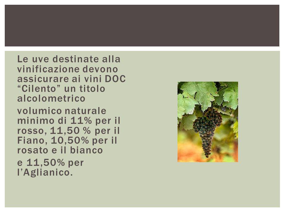 """Le uve destinate alla vinificazione devono assicurare ai vini DOC """"Cilento"""" un titolo alcolometrico volumico naturale minimo di 11% per il rosso, 11,5"""