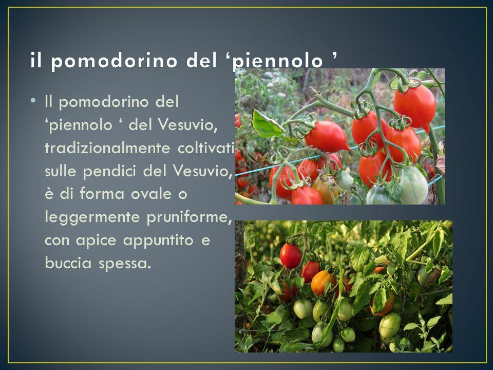 Il pomodorino del 'piennolo ' del Vesuvio, tradizionalmente coltivati sulle pendici del Vesuvio, è di forma ovale o leggermente pruniforme, con apice