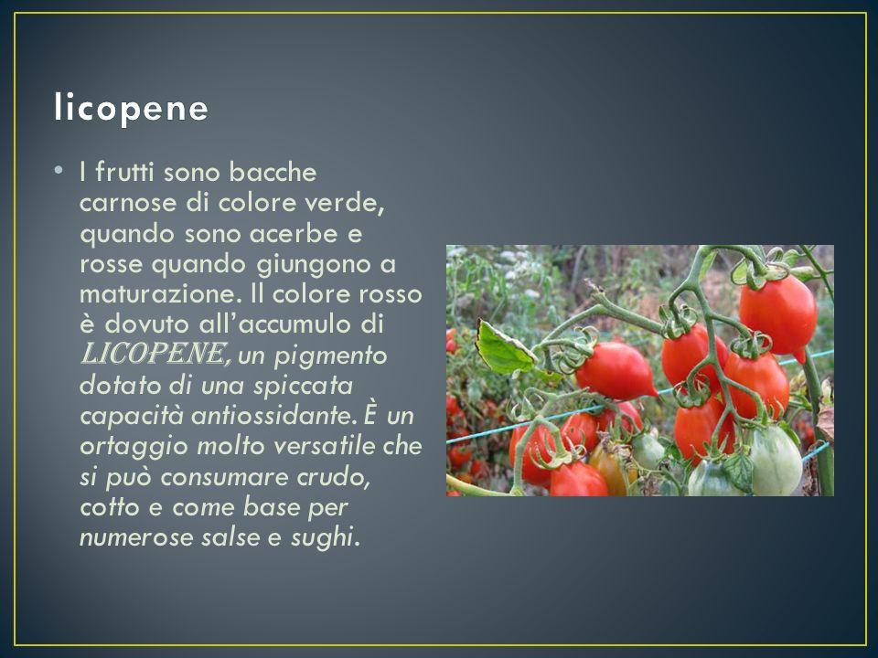 I frutti sono bacche carnose di colore verde, quando sono acerbe e rosse quando giungono a maturazione. Il colore rosso è dovuto all'accumulo di licop