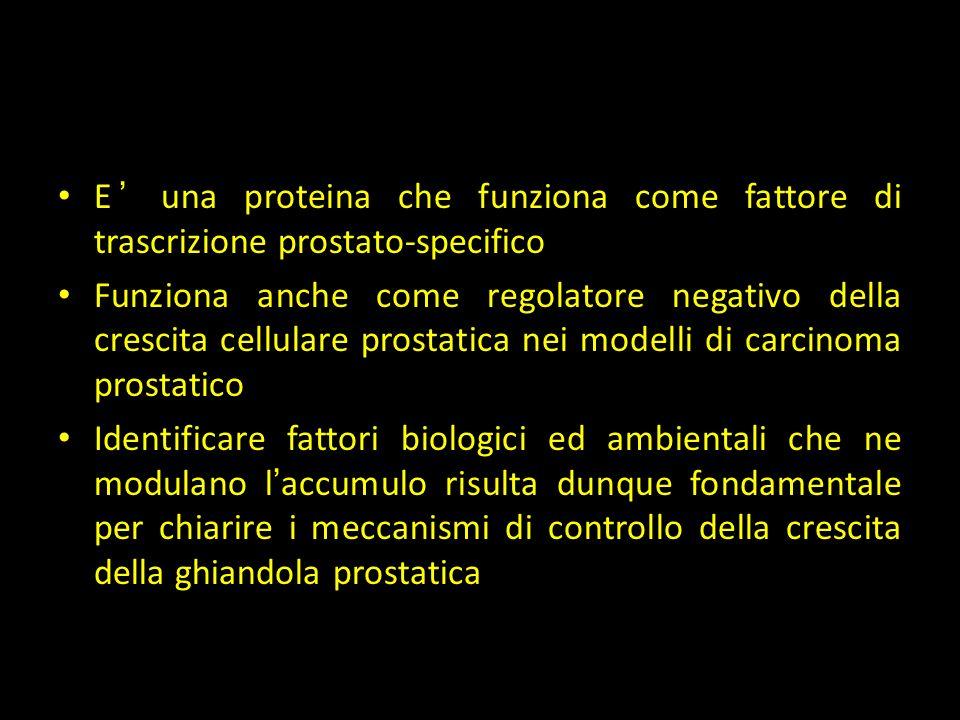 NKX3.1 E ' una proteina che funziona come fattore di trascrizione prostato-specifico Funziona anche come regolatore negativo della crescita cellulare