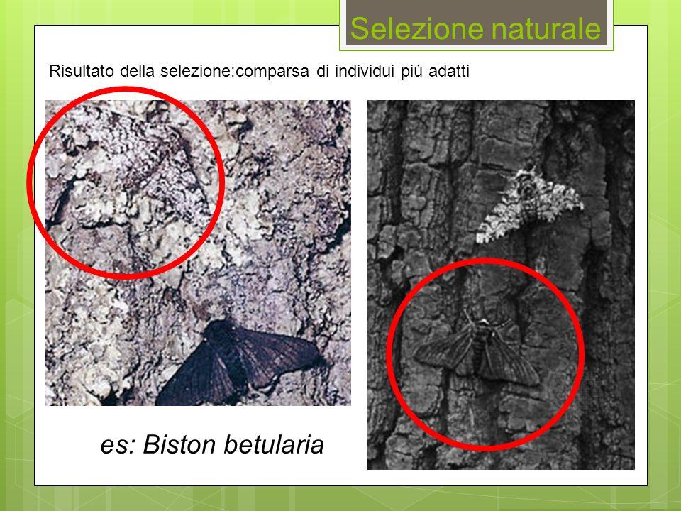 es: Biston betularia Risultato della selezione:comparsa di individui più adatti Selezione naturale