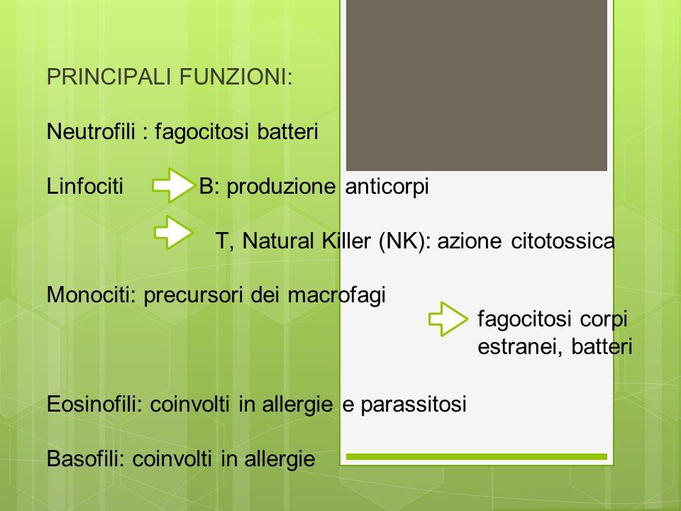 PRINCIPALI FUNZIONI: Neutrofili : fagocitosi batteri Linfociti B: produzione anticorpi T, Natural Killer (NK): azione citotossica Monociti: precursori