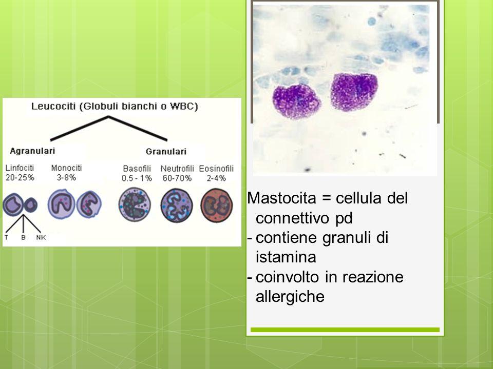 Mastocita = cellula del connettivo pd -contiene granuli di istamina -coinvolto in reazione allergiche
