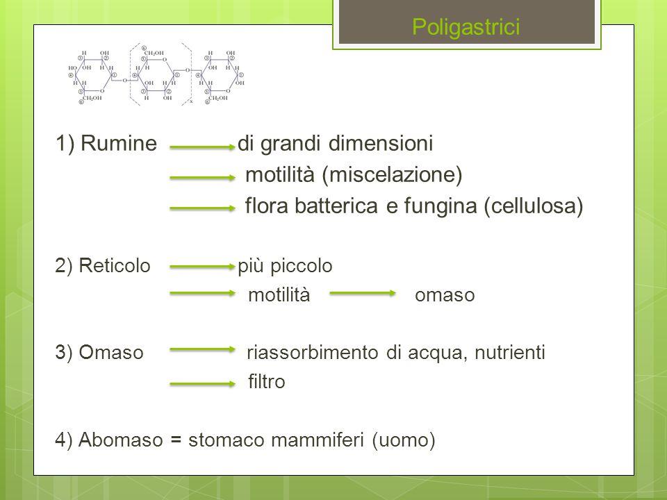Poligastrici 1) Rumine di grandi dimensioni motilità (miscelazione) flora batterica e fungina (cellulosa) 2) Reticolo più piccolo motilità omaso 3) Om