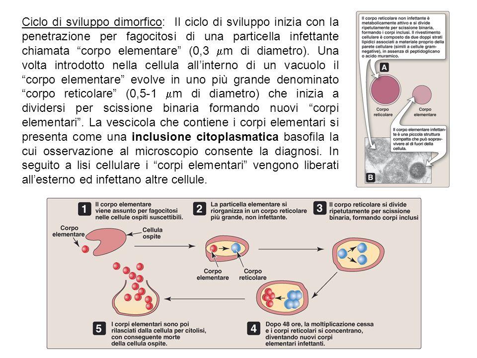 """Ciclo di sviluppo dimorfico: Il ciclo di sviluppo inizia con la penetrazione per fagocitosi di una particella infettante chiamata """"corpo elementare"""" ("""